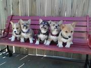 corgi bench