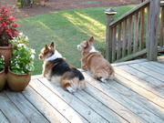 Corgi security