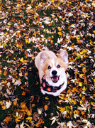 Ty in fall leaves