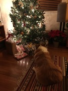 Orson by the Christmas tree