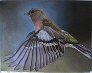 chaffinch on it's journey
