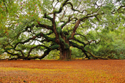 The Ancient Angel Oak of my childhood.