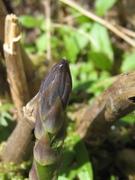 First asparagus shoot 2011