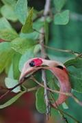 Florida Keys blackbead  Pithecellobium keyense