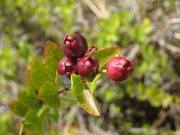 some berries i found in the pinelands