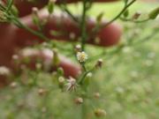 thin tall asteracae looking flower bush