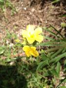 nice yellow flower, about 2 foot stalk