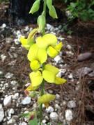 is this in the arachis genus?