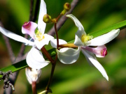 Calopogon pallidus, Pale Grass Pink