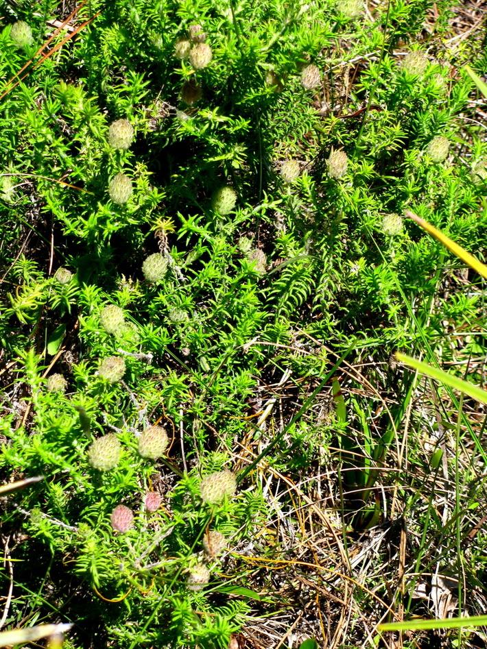 Piloblephis rigida (W.Bartram ex Benth.) Raf.  Wild pennyroyal