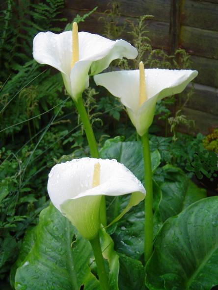 Symbolism of 3 Arum Lilys