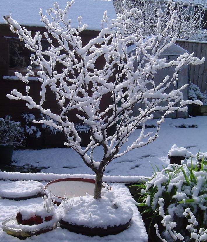 bonsai in the snow