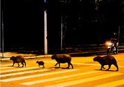capibaras beatles
