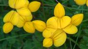 fleur de Juin à Ouessant