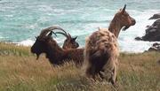 Chèvres en liberté Ouessant