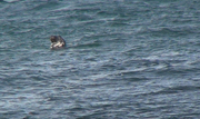 Un phoque gris, An aod meur, Ouessant