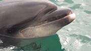 Le rostre de Randy, dauphin dans la baie de Lampaul, Ouessant