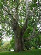 BrandyWine Battlefield Historic Tree