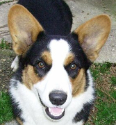 Corgis unite in Lehigh Valley and Bucks County PA