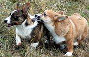 Welsh Corgi in Scandinavia and northern Europe