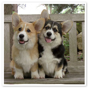 Corgis from Lithuania