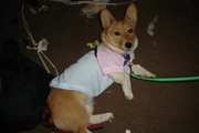 Corgi in Clothing