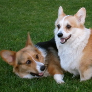 Orange County, CA Corgis