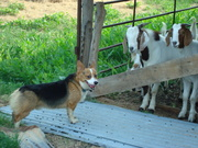 Working and Farm Corgis