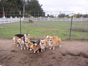 West LA Corgi Crew & Meetup