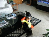 Corgie pack attacks duck