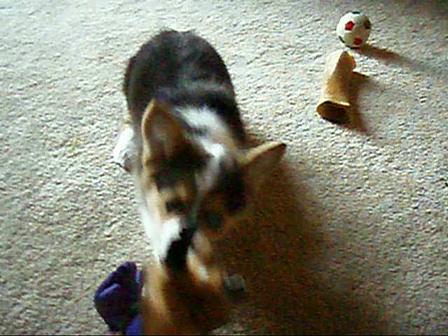 Basil plays tug with fox
