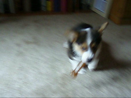 Basil Puppy plays tug with bone