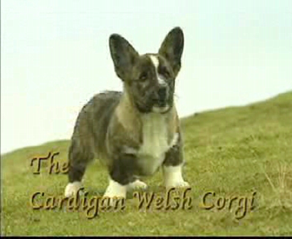 Breed All About IT - Cardigan Welsh Corgi