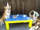 kaley corgi celebrates her 6th birthday