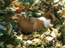 Gibson in a pile of leaves