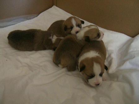 Obama Puppies
