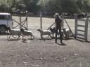 Mochi's Herding Test 2a