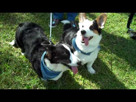 2009 Florida Corgi Picnic - Part 1
