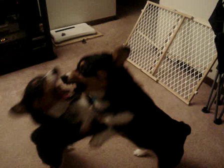 Corgi Boys Playing