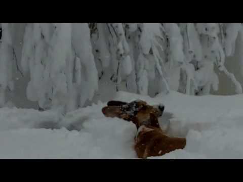 Corgis in the snow