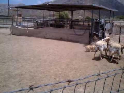 Herding Instinct Trial