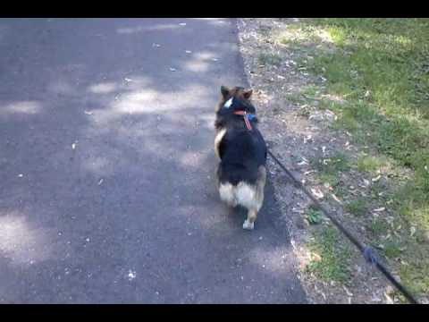 Callie the Corgi on a walk