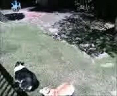 Backyard Chase