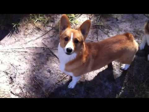 Corgis play on October Day