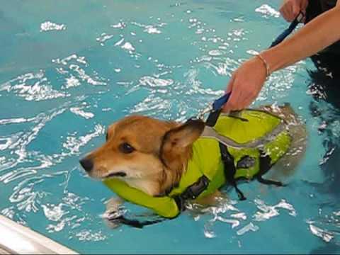 Corgi's swimming therapy