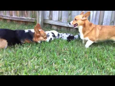 Cardigan Puppy Byron Plays with Basil for the First Time