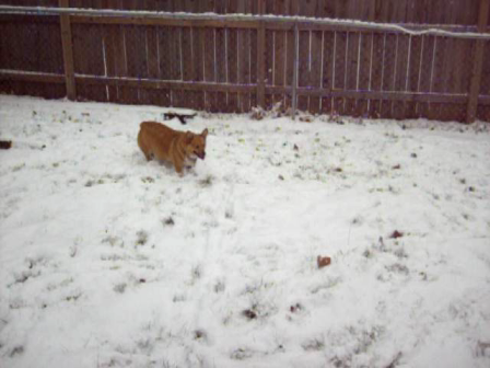 Corgi Snow Wrestling...