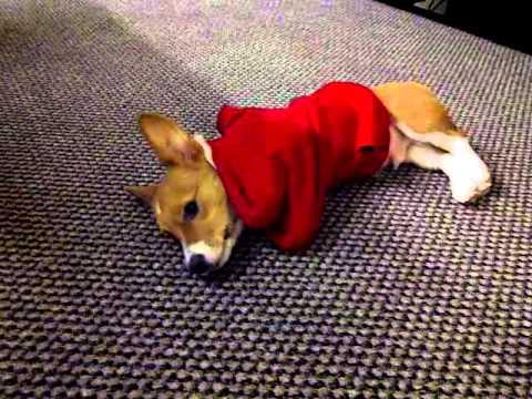 Corgi stuck in a sweater