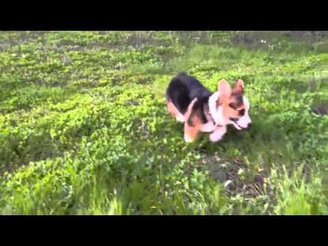 Corgi Puppy Super Cute to Trouble in 60 Seconds, extended