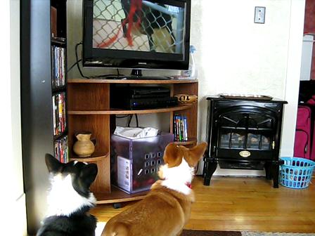 Corgis watching TV